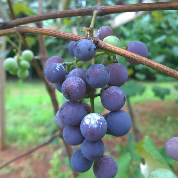 Grapes at moms