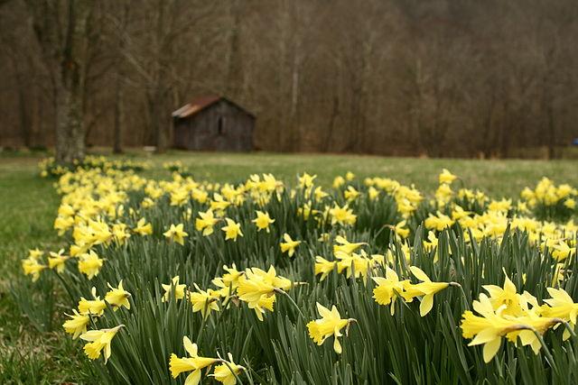 640px-Barn-wildflowers-spring-daffodil_-_West_Virginia_-_ForestWander (1)